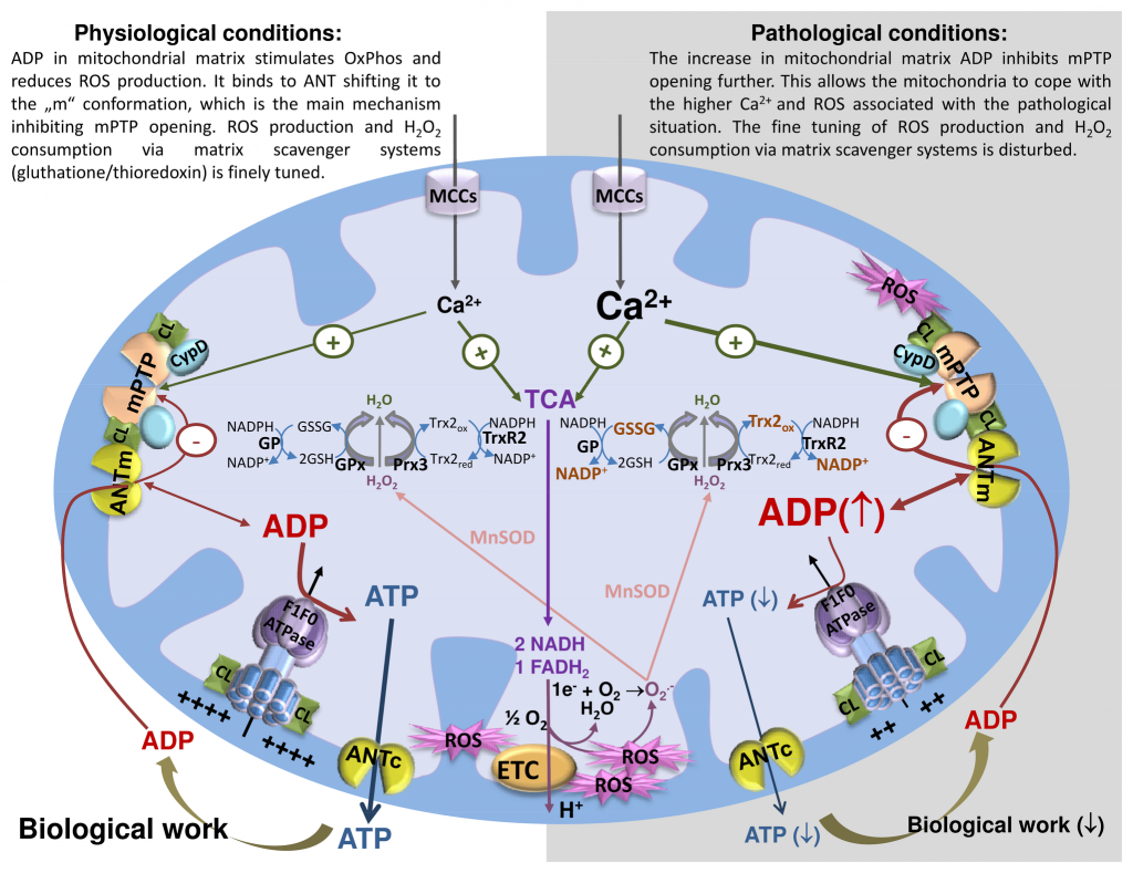 ADP is a master regulator of mitochondrial ATP production, Ca2+ homeostasis, and ROS generation