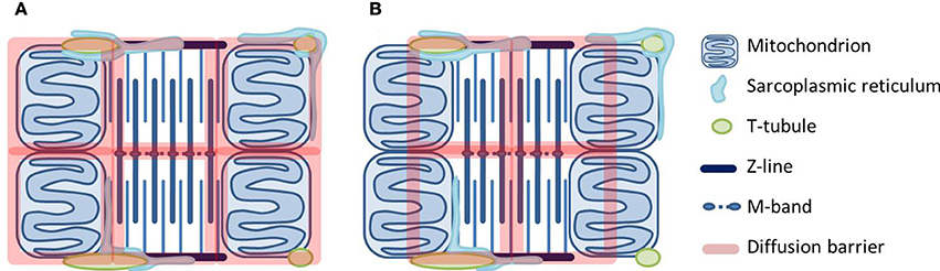 scenarios for how diffusional barriers may be organized in cardiomyocytes.