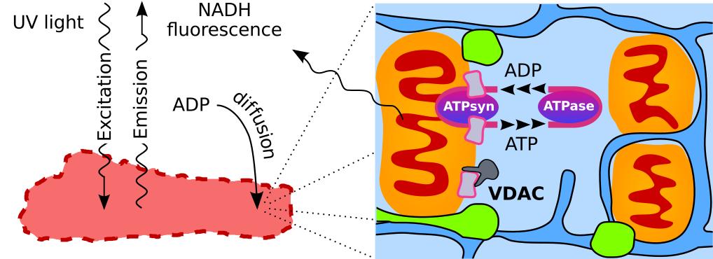 Autofluorescence in permeabilized cardiomyocytes